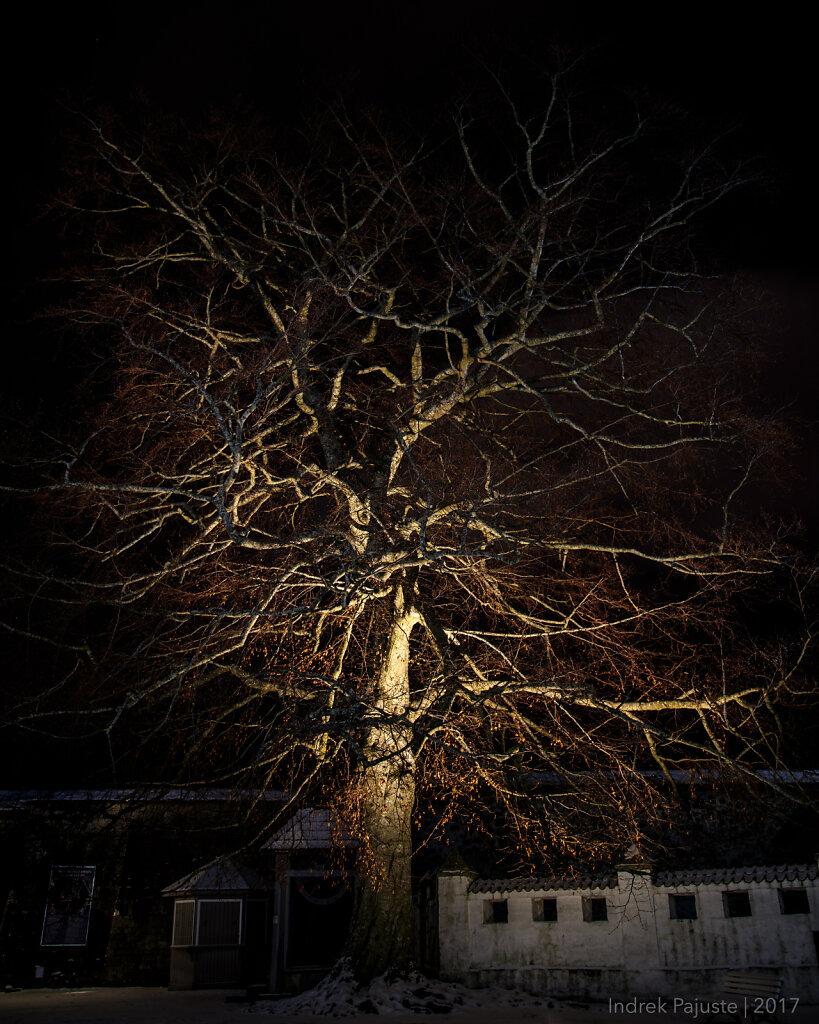 Raagus puu Kuressaare lossihoovis